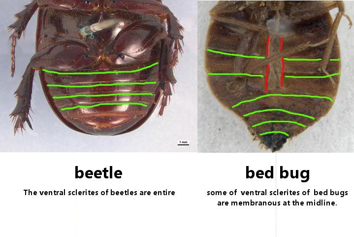 Carpet Beetle Look Like Bed Bug Carpet Vidalondon