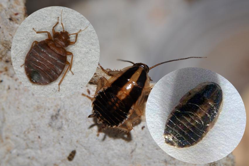 Baby Cockroach Vs Bed Bug : EXPERTS, PLEASE ID BEDBUG « Got Bed Bugs? Bedbugger Forums