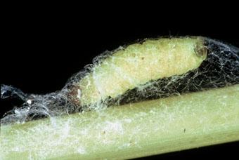 [IMG]http://www.pest2000.it/Foto/insetti/Plodia_larva.jpg[/IMG]
