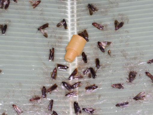 [IMG]http://www.pest2000.it/Foto/insetti/plodiatrapFFZ02.jpg[/IMG]