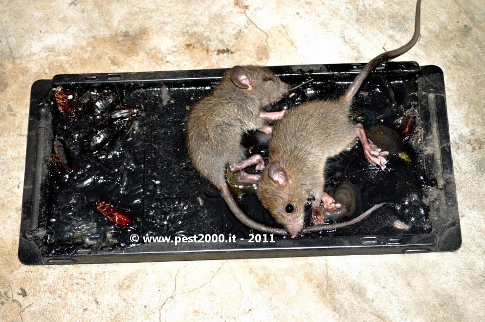 Come uccidere i topi - Come uccidere i topi in casa ...
